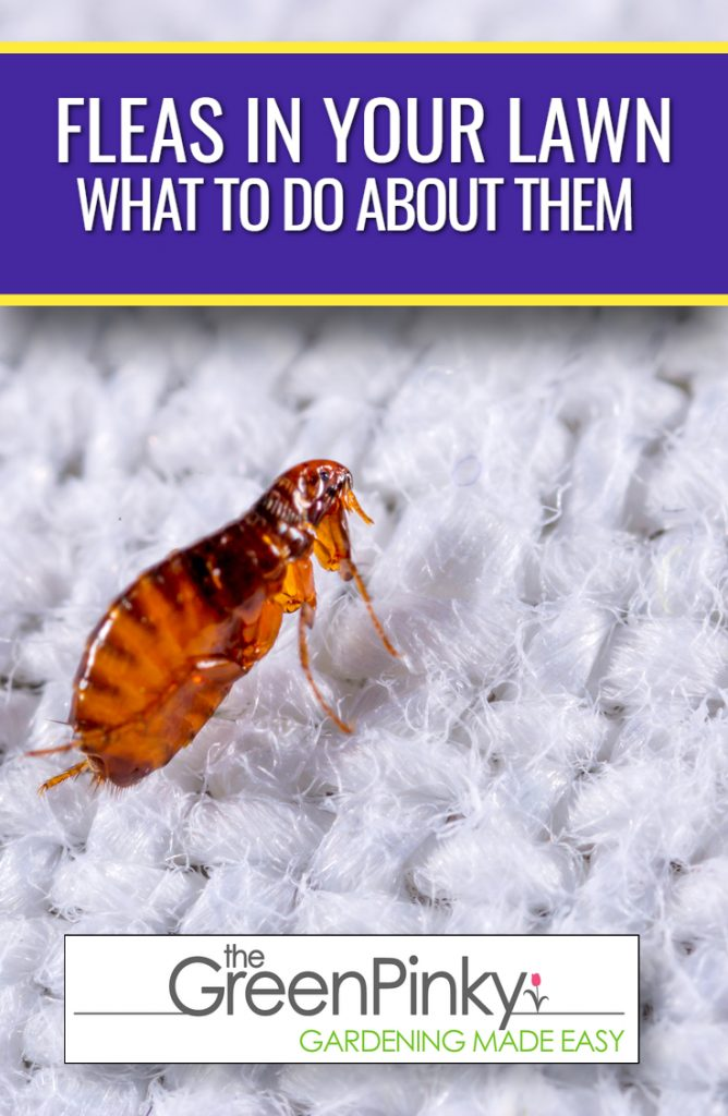 Fleas living in your grass should be killed using this guide