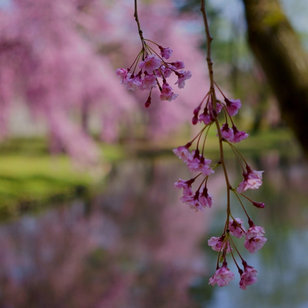 Flowers dangling from the branches creates a serene atmosphere.