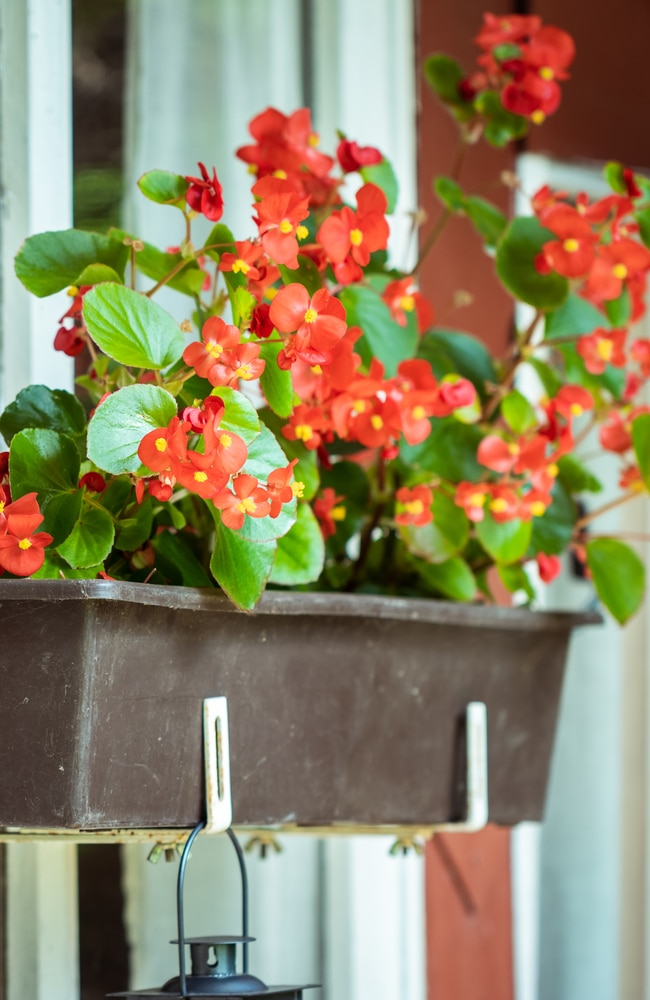 Begonia flowers in planter.