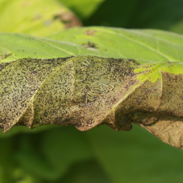 frass droppings can be used as a tool to identify these pests.