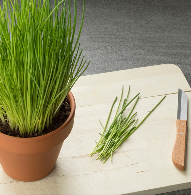 Fresh chives from an indoor herb garden