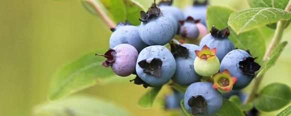 Through proper care, beautiful fruits develop