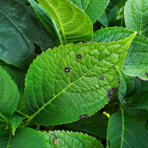 Because of its appearance it is also known as frog eye leaf spot.