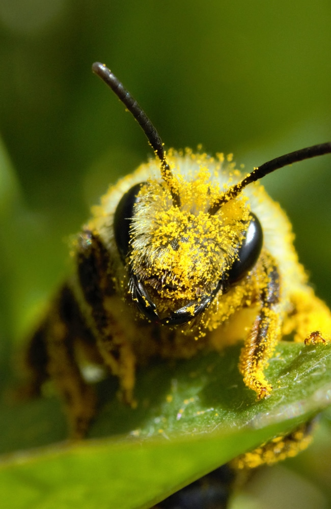 Miner bees help pollinate your plants