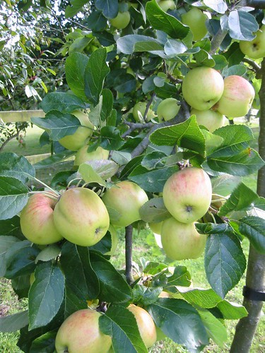 Granny smith variety that is ready to harvest to be eaten.