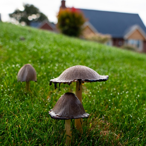 Fungi on lawn can symbolize poor lawn health.
