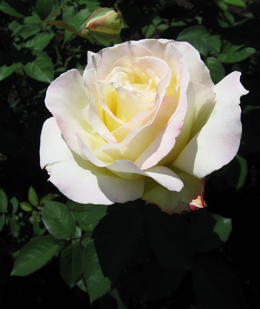 The white to cream colored garden party rose is a beautiful classic.