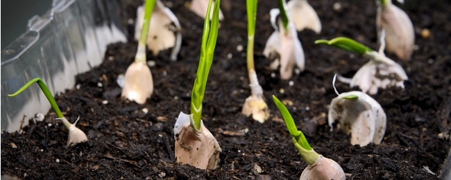 Sprouts growing out of cloves of garlic sitting on soil