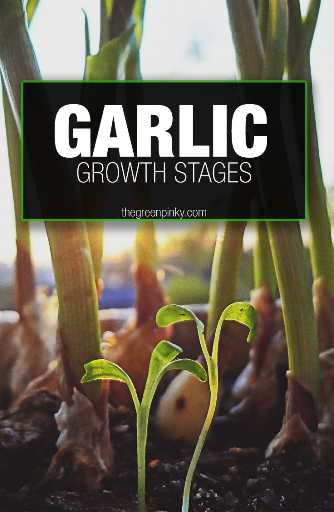Garlic growth stages through its life cycle