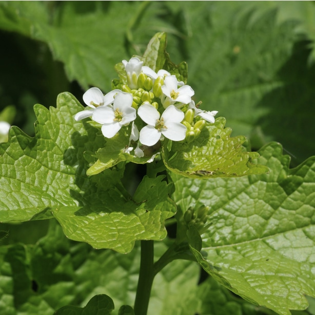 Garlic mustard tall weeds can prevent sun from reaching your lawn
