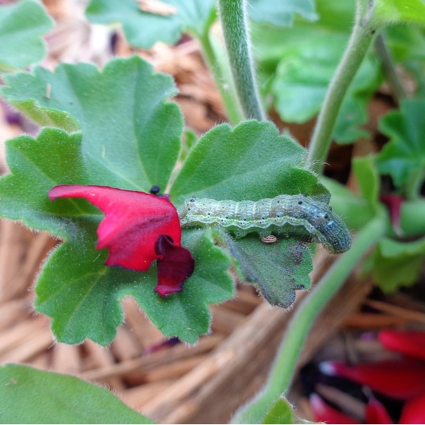 these worms like to eat geranium buds which will cause holes in your flowers