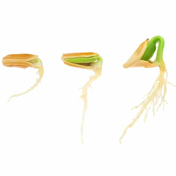During germination, the primary root appears.