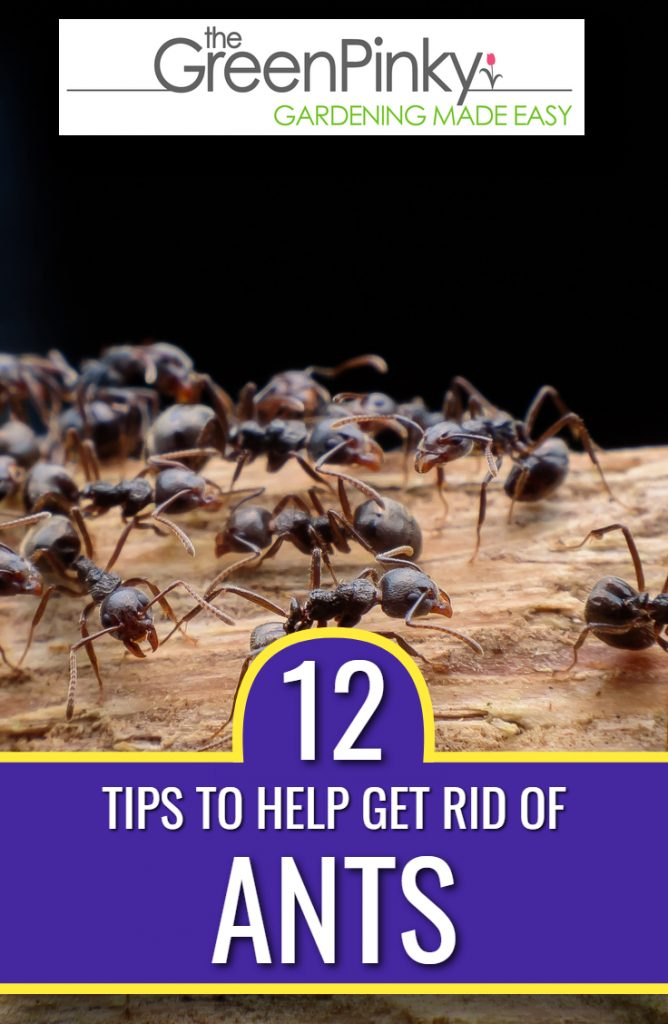 Tips for getting rid of ants that are infesting a house