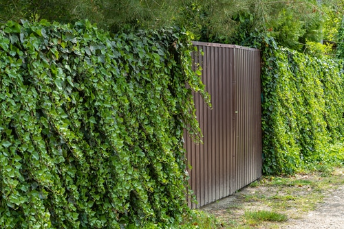 herbicide is needed to kill ivy that is growing unchecked on fences