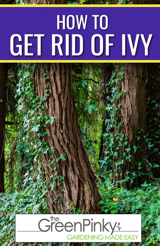 Get rid of ivy with a guide because they can be difficulty to remove without instructions