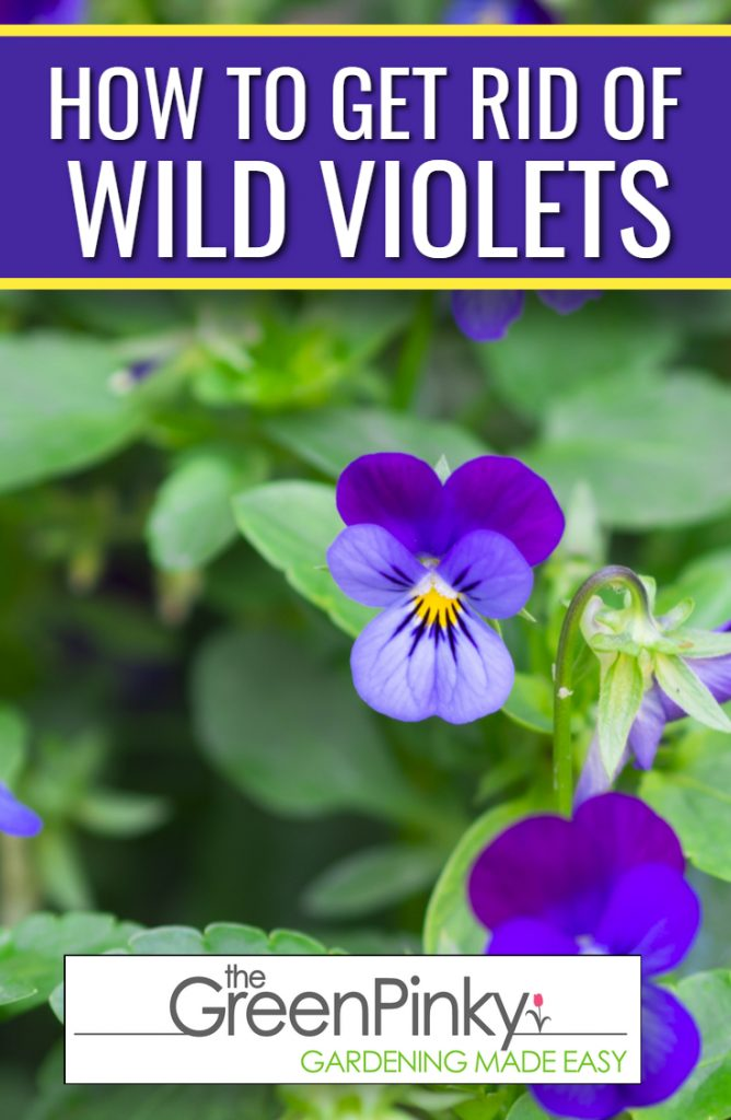 Wild violets are plants that sometimes need to be removed.