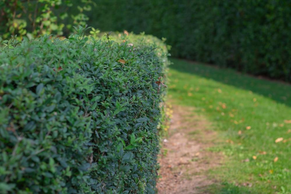 Glencoe boxwood is a hybrid of the Chicago botanic garden