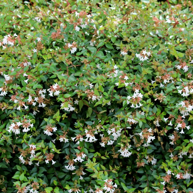 Glossy type creates beautiful white flowers