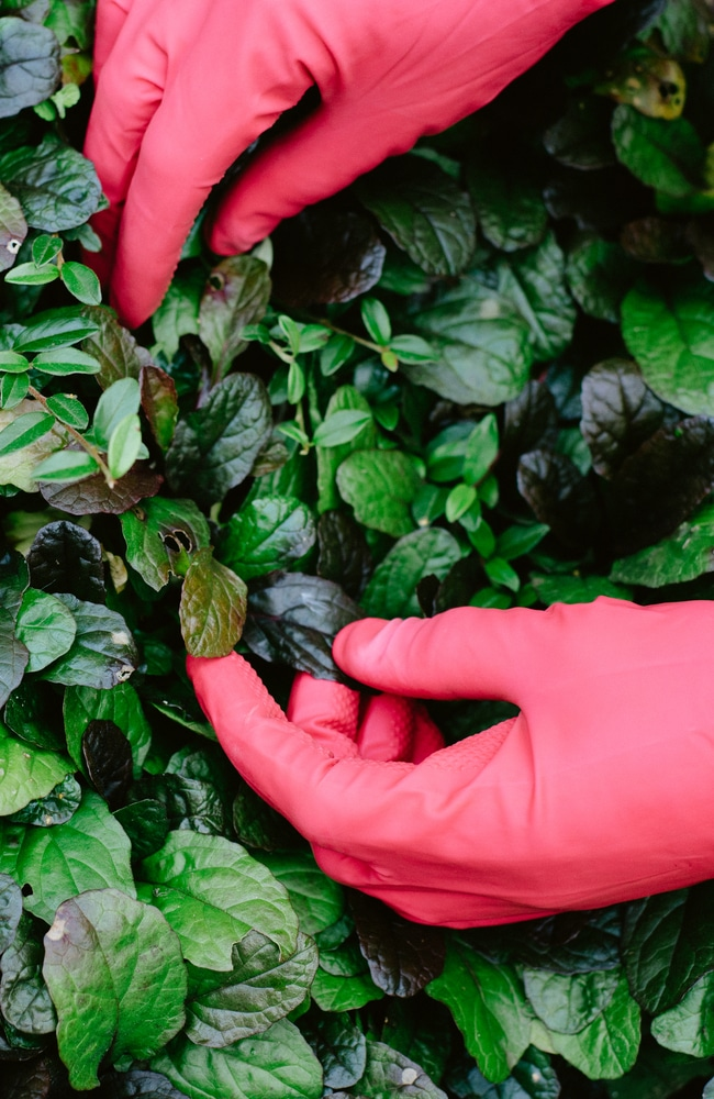 Removing poison ivy with gloves is important to prevent getting a reaction