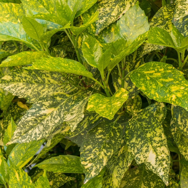 Gold dust has foliage that looks like its been sprinkled with fairy dust.
