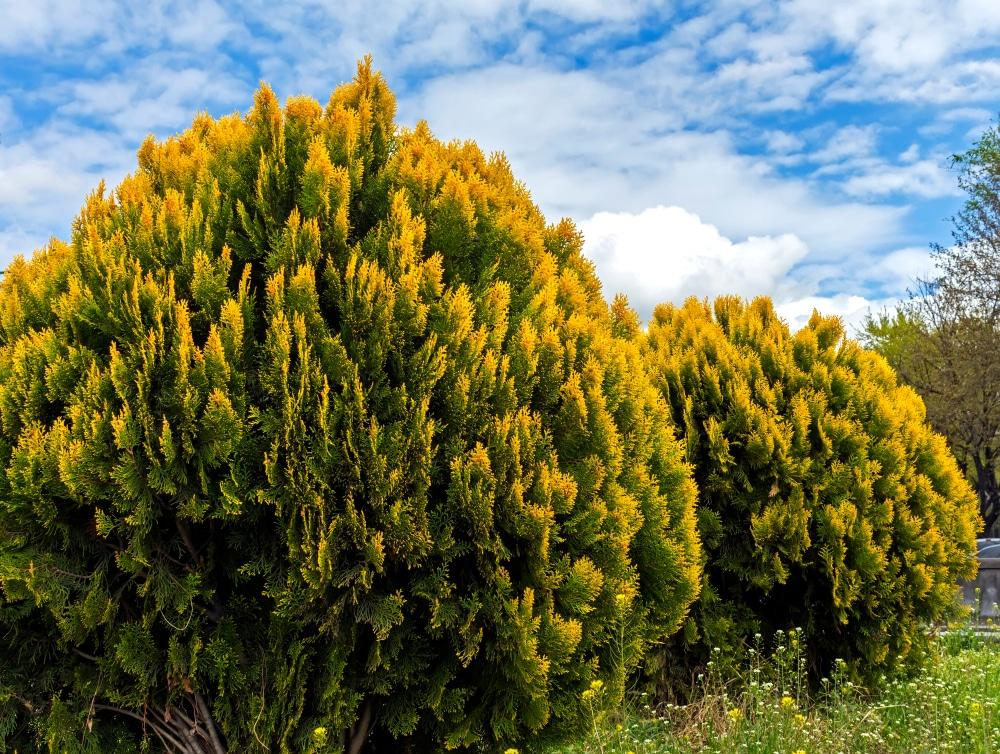 Golden globe thuja shrub