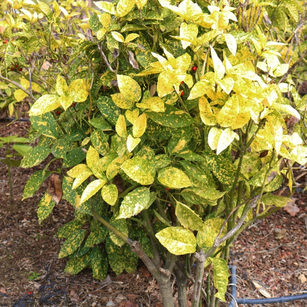 Golden king has dense foliage and a taller structure making it a good privacy screen