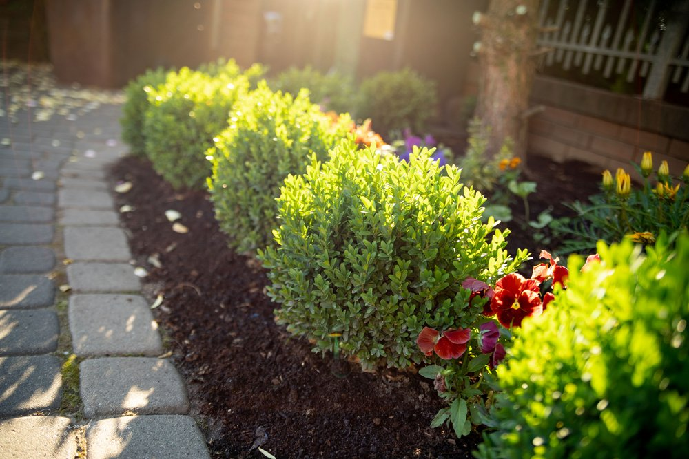 Grace Hendrick philips type of boxwood with sun shining down in front of it in front of a house