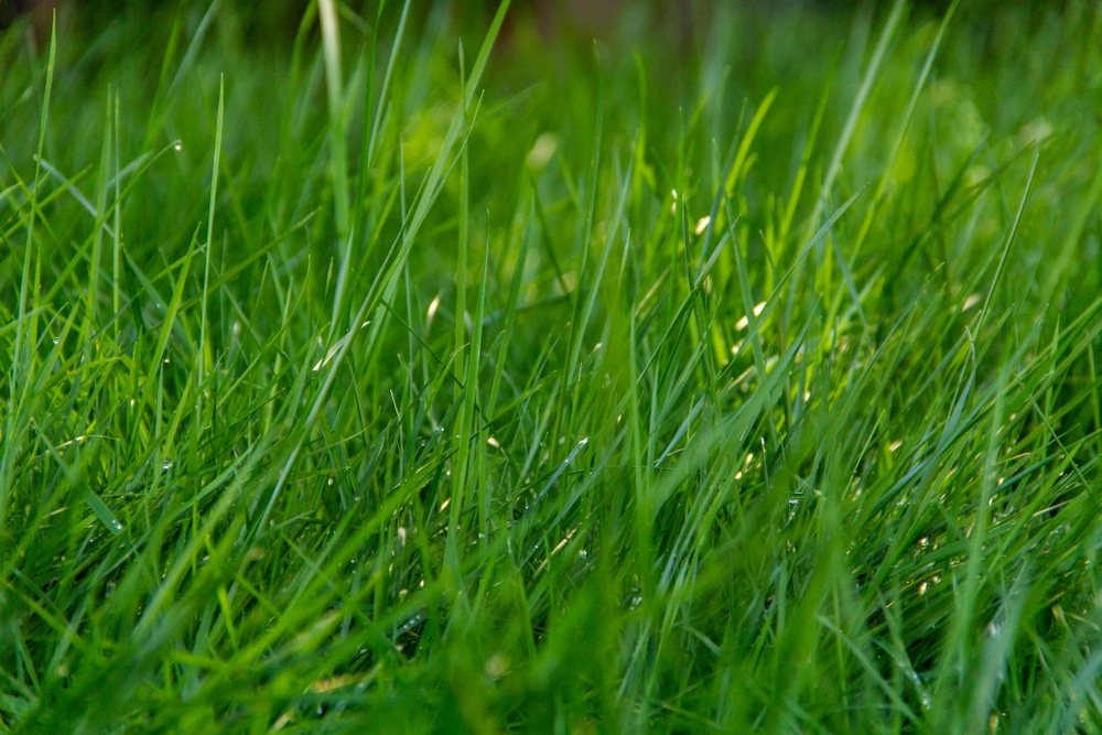 Mowing grass early in the morning should be avoided because of dew on the ground