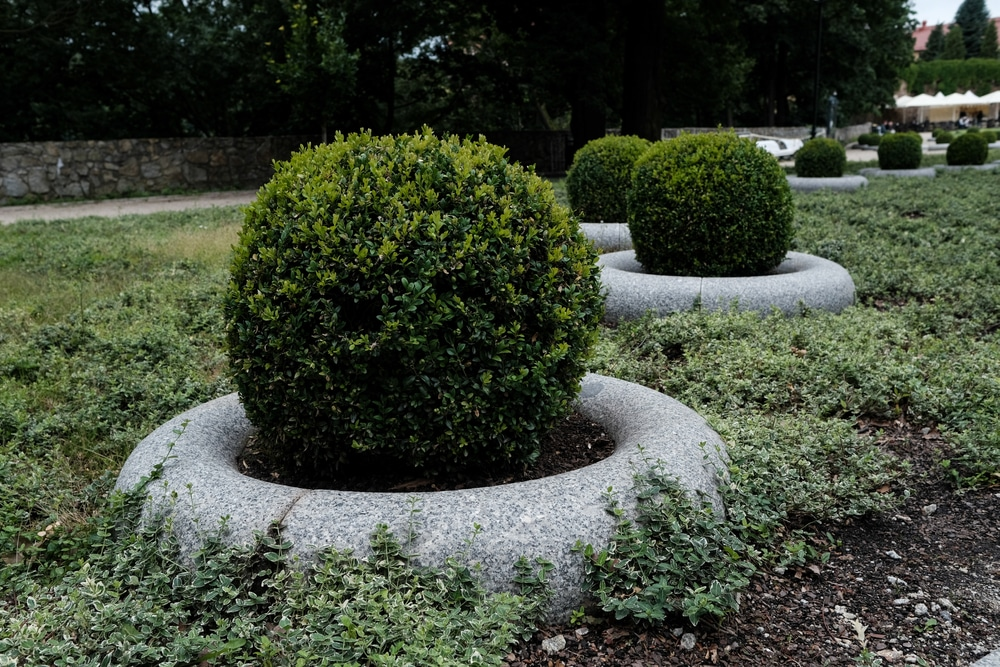 Green beauty boxwoods cut into perfect ball-shapes