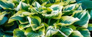 hostas have beautiful green foliage that make a wonderful addition to any shady garden