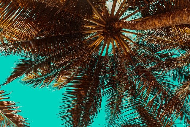 With proper maintenance and watering, palm trees grow beautiful green fronds.