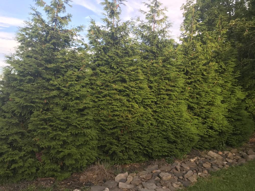 Green giant arborvitae variety