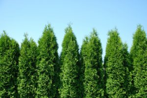 Green giant in a row being used as a privacy hedge
