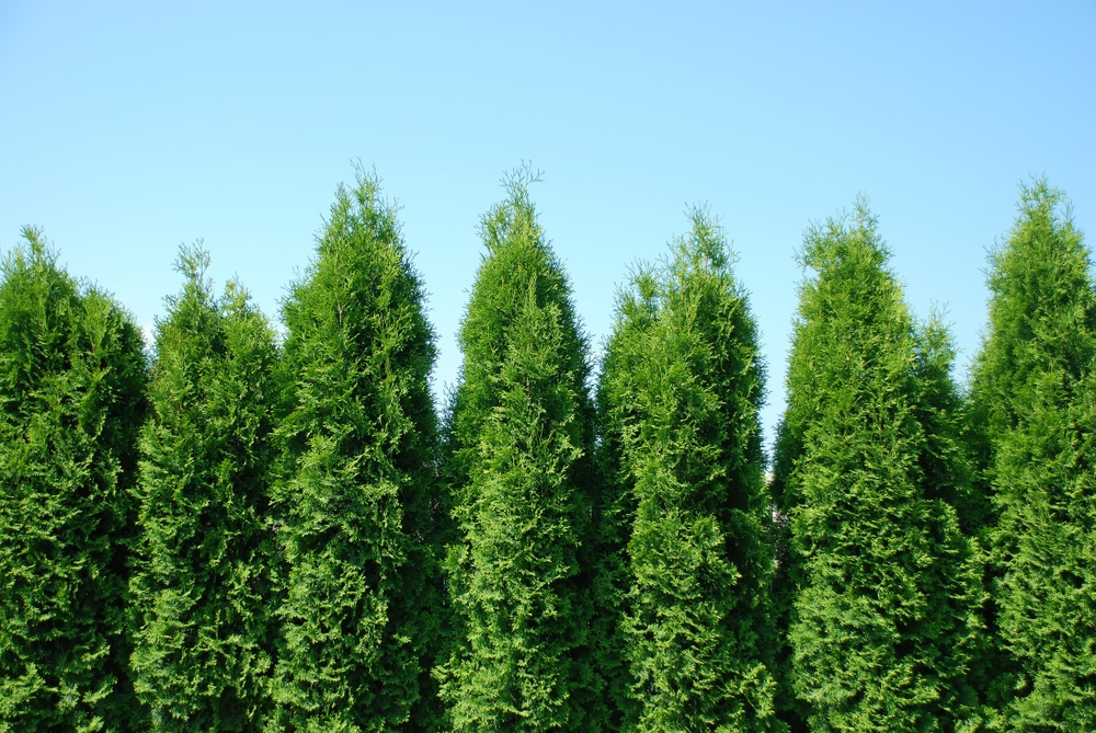 Green Giant Arborvitae - Everything You Need to Know