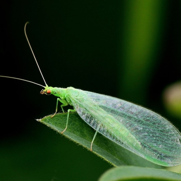They commonly feed on aphids