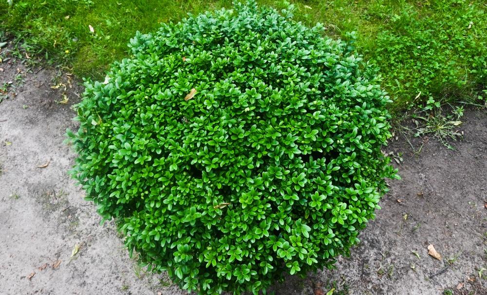Green mountain bush has a distinctive green color.