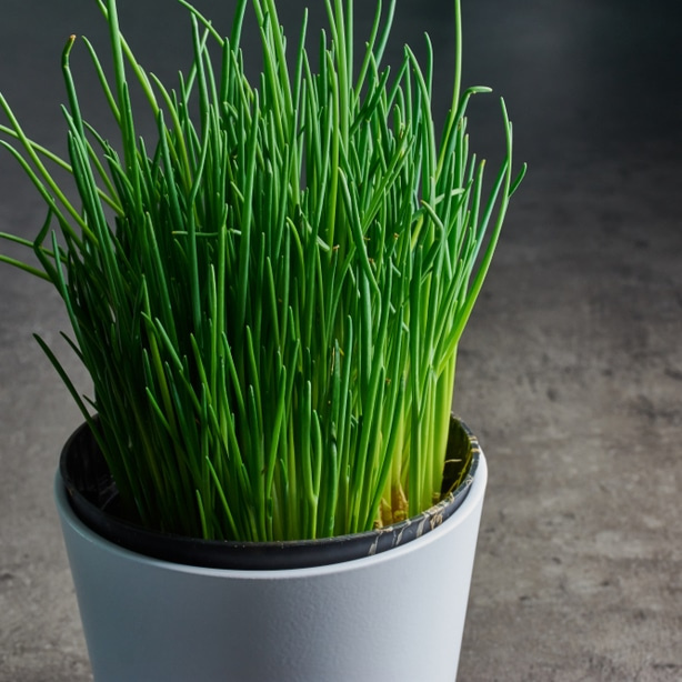 Chives can be easily grown indoor to have fresh herbs