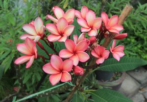 Growing plumeria correctly requires a guide