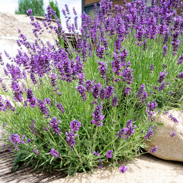Lavender growing in the landscape