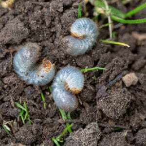 Grubs are white and cause their own type of damage