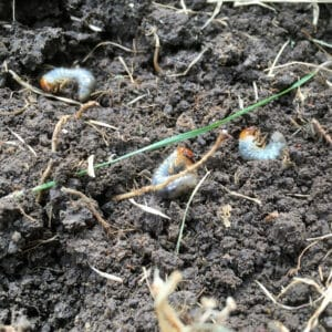 Grubs are white and can be identified by their V-shaped hair arrangement