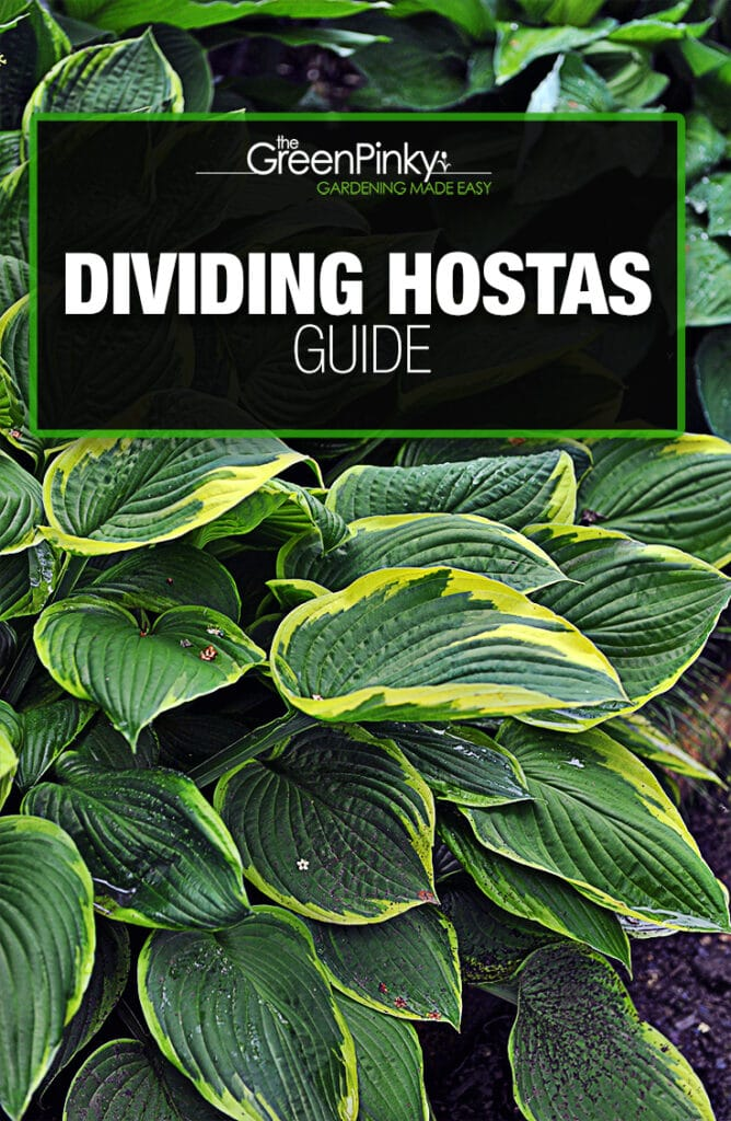 Splitting hostas is not difficult but requires a proper guide