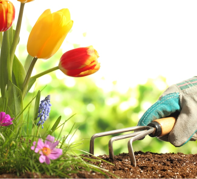 Someone holding a small handheld rake to plant tulips