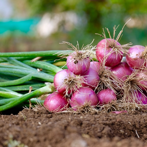Red onions that have been harvested at the appropriate time.