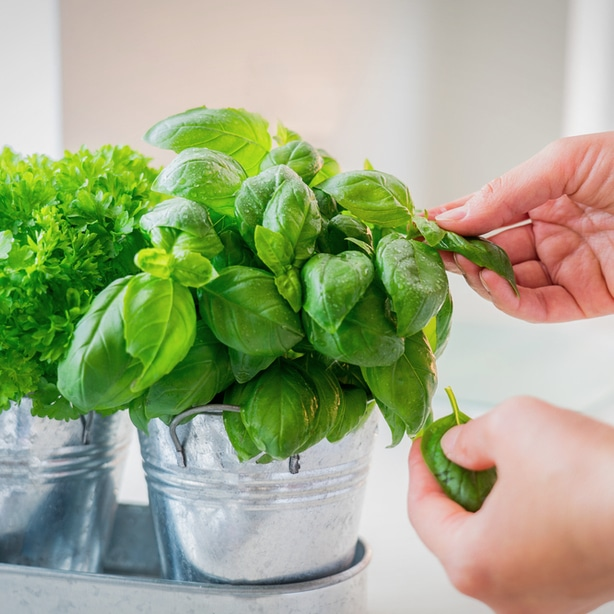 Basil that has been grown indoors is ready to be harvested