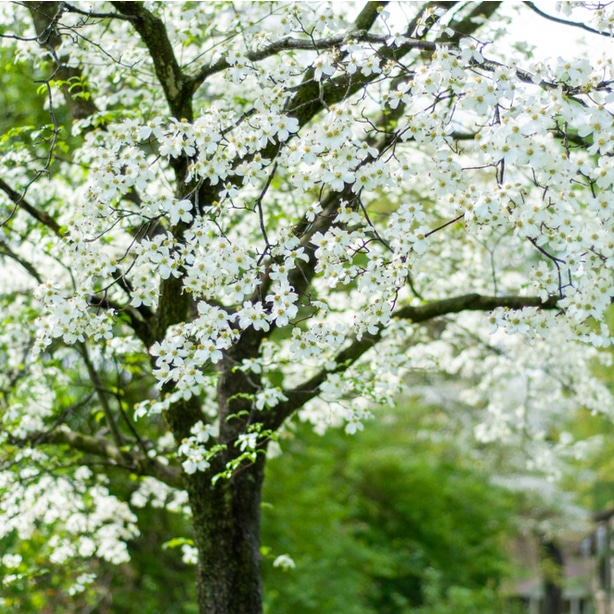 healthy dogwood require plenty of moisture and nutritious soil