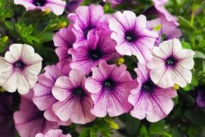 Healthy flowers getting enough nutrients, including petunias