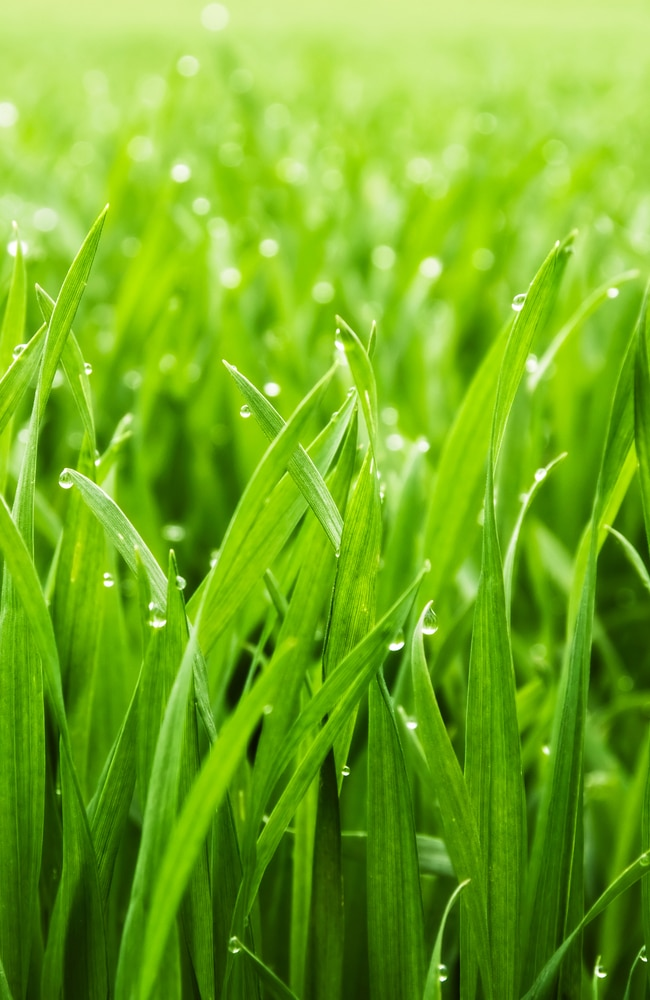 healthy blades of grass