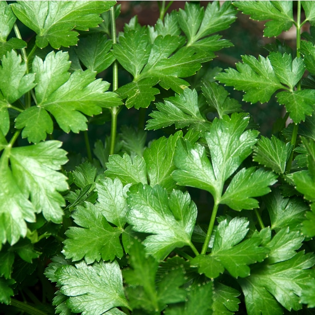 Petroselinum crispum is one variety that grows healthy in an herb garden