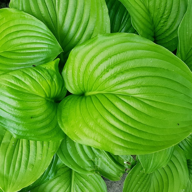 Healthy hostas after proper division and rooting.